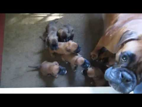 Bachbett Boxer D Litter Pups Discuss Current Politics