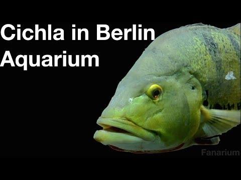 Cichla in Berlin Aquarium