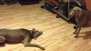 Weimaraner Mom Playing With Her Pup - Jamie And Lewis