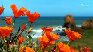 Zen Ocean Waves & Wild Flowers - California