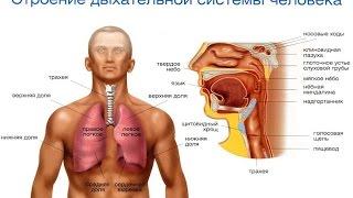 Органы дыхания - Анатомия просто!