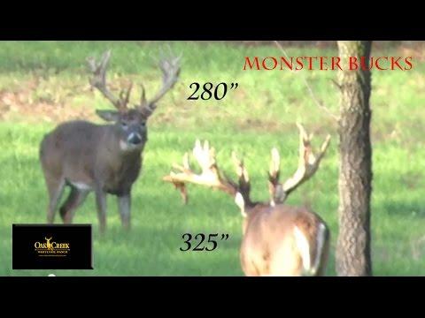 Monster Bucks Fight on Oak Creek Whitetail Ranch
