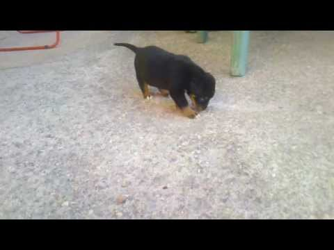 Pitbull And Rottweiler Mix 1 Month Youtube