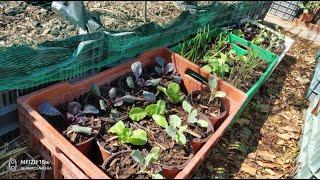 Trasplantando plantines a macetas provisionalmente