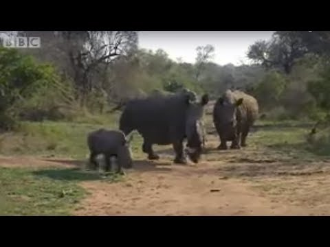 Don't get in the way of a black rhino charge - Ultimate Killers - BBC wildlife