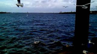 Die weißen Tauben sind Möwen ... im Hafen von Norddeich (Nordsee)
