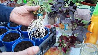 Черенки Цветов Укоренились на 5 день в Воде и дали массу корней