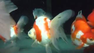 Ryukin rouge et blanc 18-20 cm