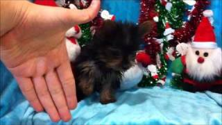 'microscopic Bill' - The Micro Teacup Yorkshire Terrier Puppy By Star Yorkie Puppies For Sale