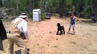 Slash The Schutzhund Poodle In Protection Phase.  Guard In The Blind