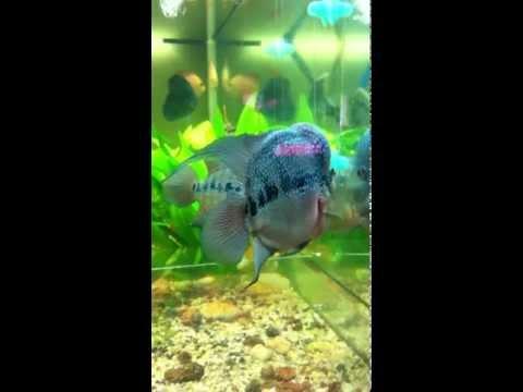 Cá La Hán Kim Cương xanh Cửu Sừng hiếm có trên thế giới.MOV