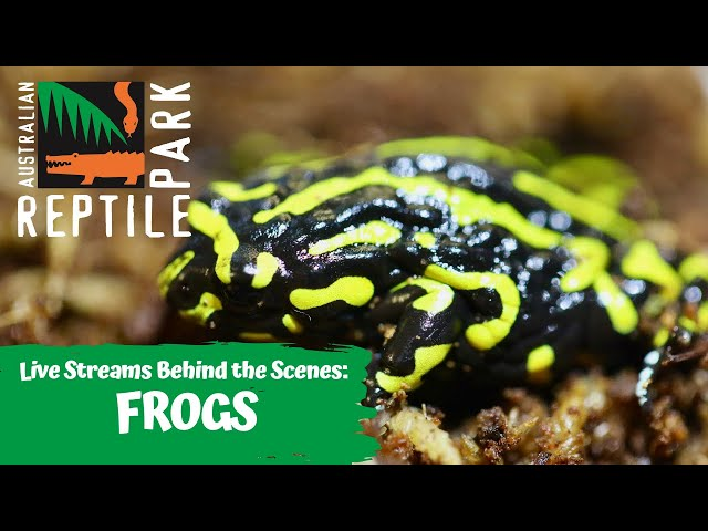 LET'S LEARN ABOUT FROGS (LIVE FOOTAGE) | AUSTRALIAN REPTILE PARK!