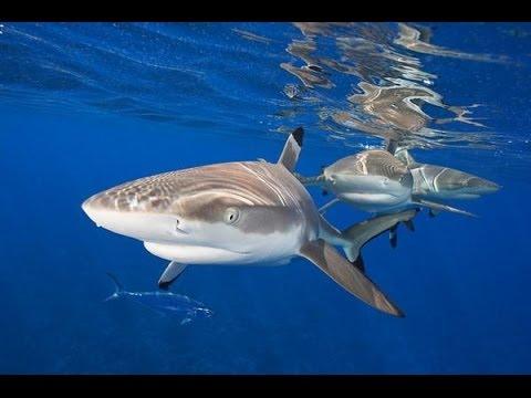 Аквариумная акула #2