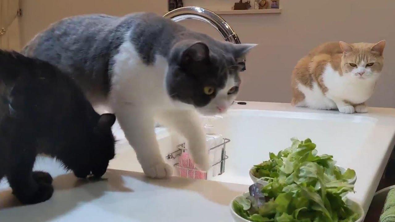 お料理中はずっとそばから離れない猫【ハマチの味噌煮】 330話