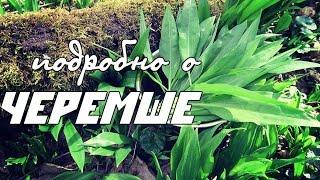 видео Черемша Растение медвежий лук Семена черемши Выращивание