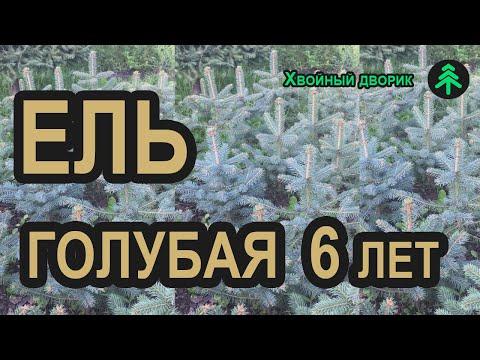 Ель голубая 6-ти летка сезон Осень 2019 г