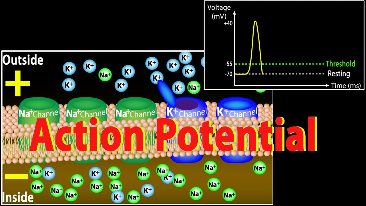 Download Action Potential in Neurons, Animation.