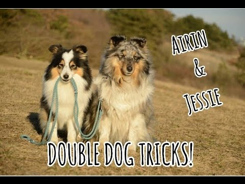 DOUBLE DOG TRICKS! | Airin & Jessie | 2 amazing shelties!