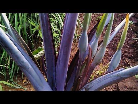 Calon Bunga Talas Hitam ( Colocasia Esculenta )
