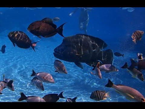 Snorkeling at St Regis Resort Bora Bora Lagoonarium - Swim with Napoleon fish, Pufferfish, Nemo, etc
