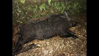 Guest Hog Hunts! - Horn Swamp Hunting