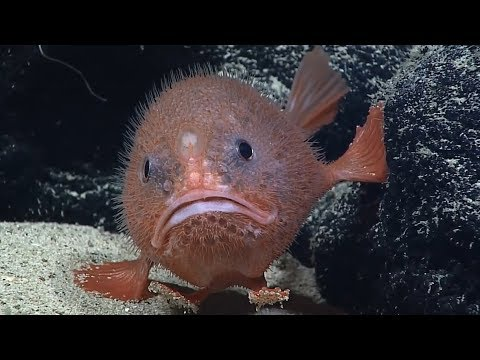 Facts: The Sea Toad (Coffinfish)