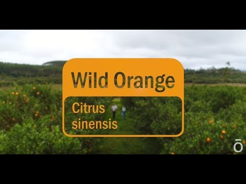 doterra wild orange oil pdf