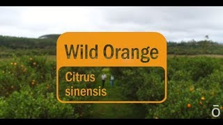 Wild Orange Oil – doTERRA Sourcing Brazil's Orange Essential Oil