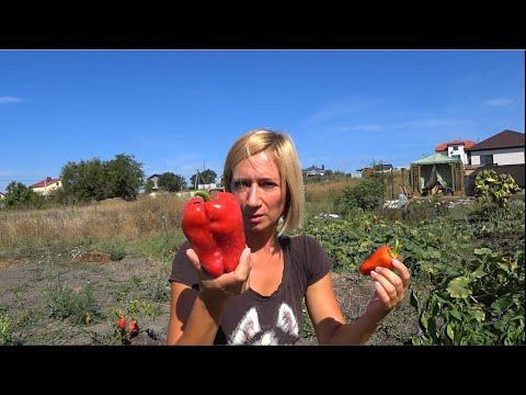 Как поживает огород в конце августа. Кубань