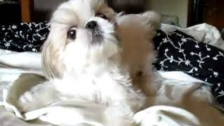 Tiny Shih-tzu Jumping On The Bed