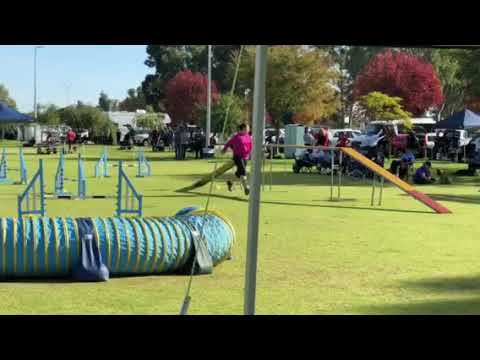 Trixie - Manchester Terrier WA State Agility Trial 2018 - Finals