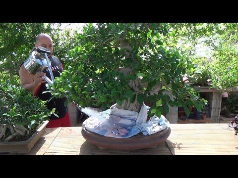 Nuestro bonsai durante las vacaciones