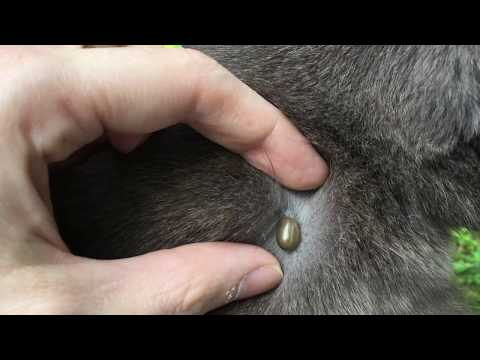 Fat Tick removed from Fat Cat.