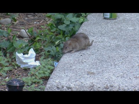 Rats on the rise in Toronto