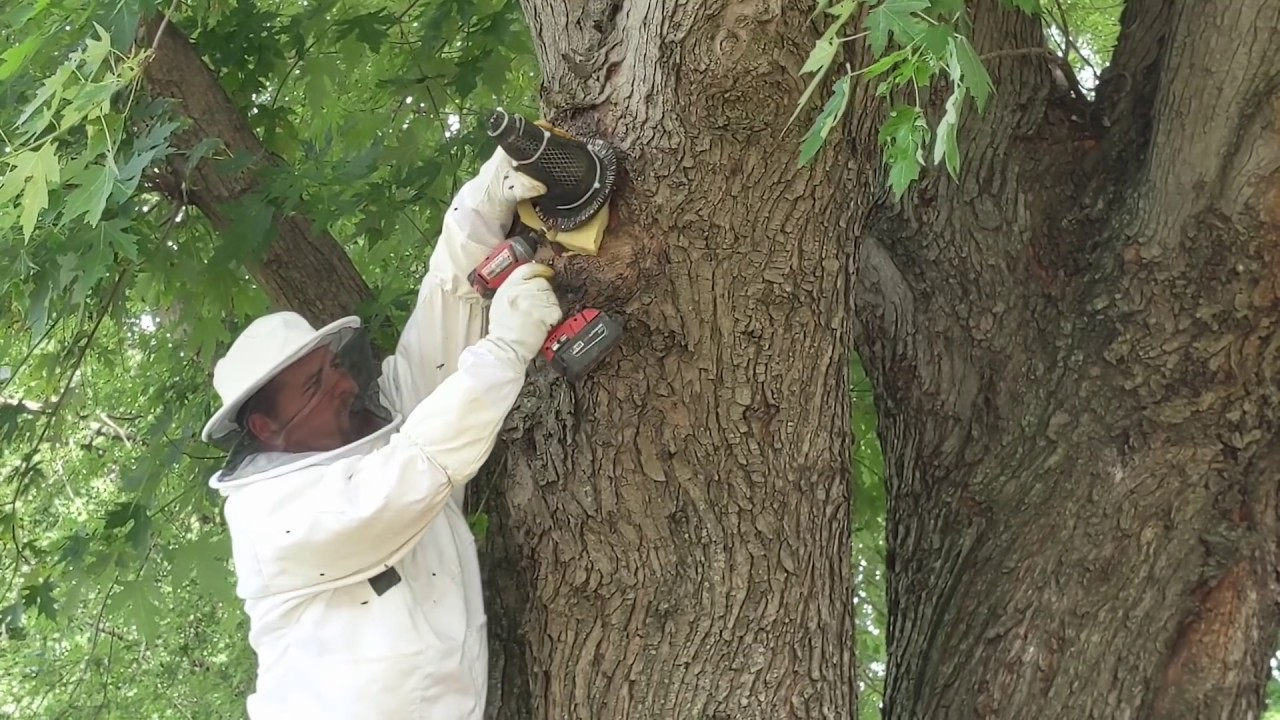 Trying To Catch A Wild Bee Hive In A Tree!