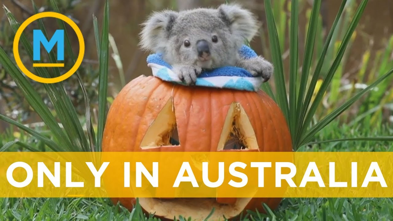 This Is How Animals In Australia Celebrate Halloween | Your Morning