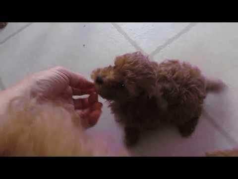 Litter of four red miniature poodle puppies