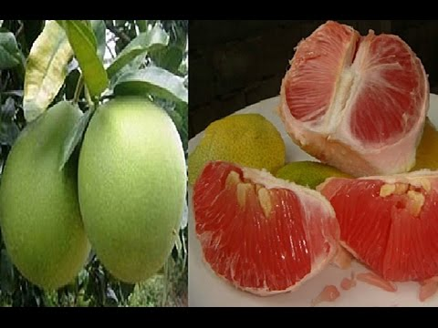 HEALTH BENEFITS OF POMELO THAT WILL SURELY GIVE YOU A BIG SURPRISE!