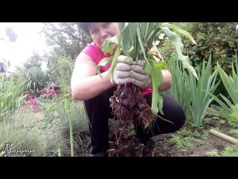 Когда нужно пересаживать тюльпаны.