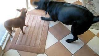 Labrador Retriever Vs. Miniature Pinscher