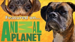 Brock the Boxer: ON ANIMAL PLANET