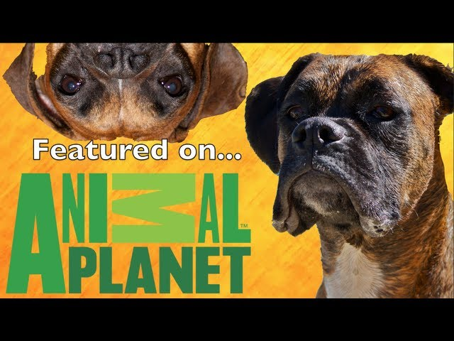 Brock the Boxer: ON ANIMAL PLANET'S BAD DOG! SHOW Travel Video