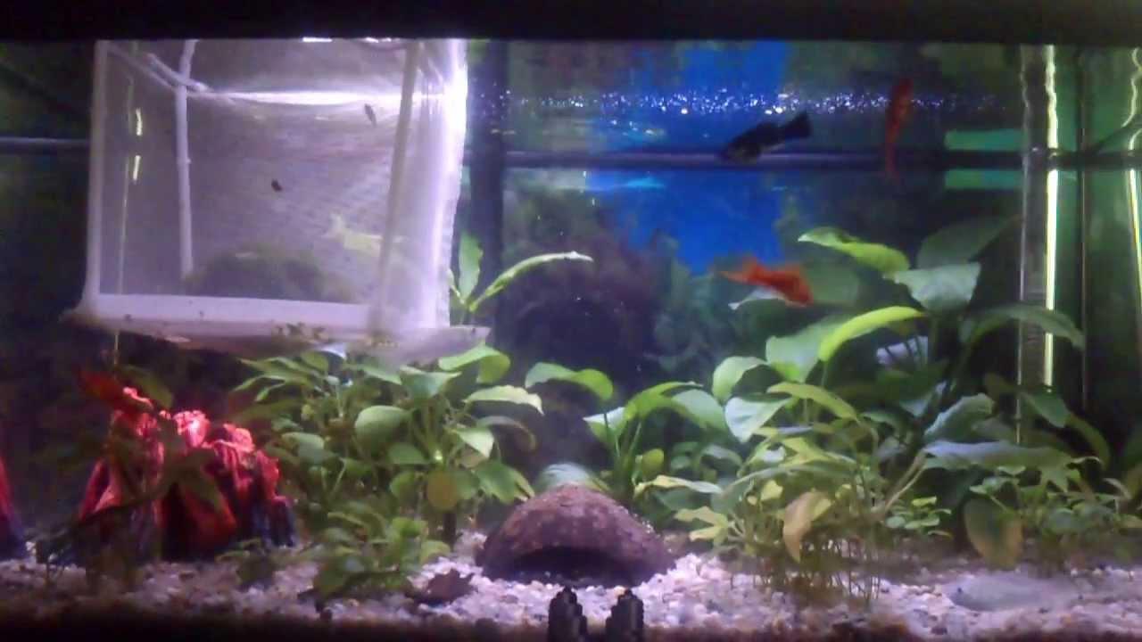 Guppys peces de acuario evitar que se mueran alevines for Modelos de estanques para peces
