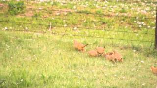 Mother Prairie Dog Mobbed By Babies