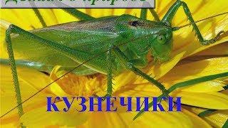 Детям о насекомых ❦ Сообщение о насекомом КУЗНЕЧИКЕ