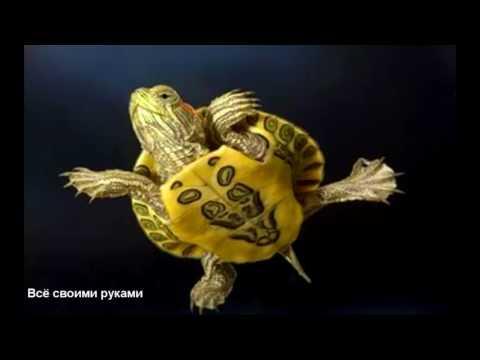 Вопрос: Может ли красноухая черепаха жить без воды, просто ползать по дому?
