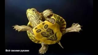 Интересные факты о красноухих черепахах!/Interesting facts about slider turtles