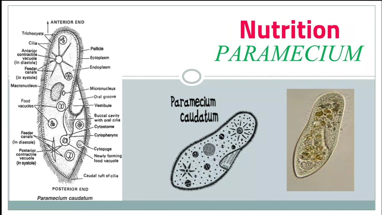 Nutrition in Paramecium - YouTube