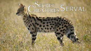 Secret Creature: Serval Cat