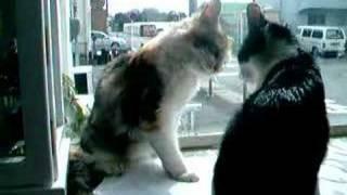 猫のあんこときなこ。出窓の取り合いでケンカ。どちらも一歩もゆずらな...